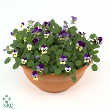 Hangpot 23 cm Viola cornuta Blue & Violet