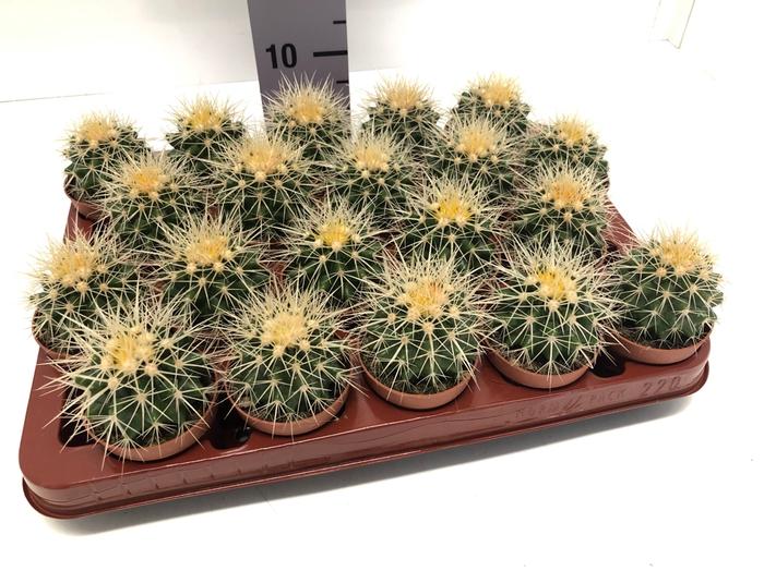 <h4>Echinocactus Grusonii 6,5Ø 5cm</h4>