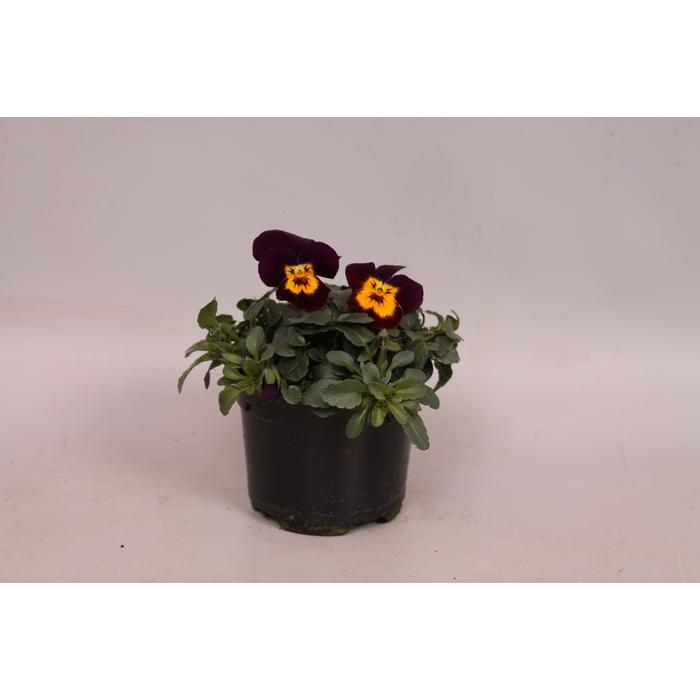 <h4>Viola cornuta F1 Purple with Golden Center</h4>