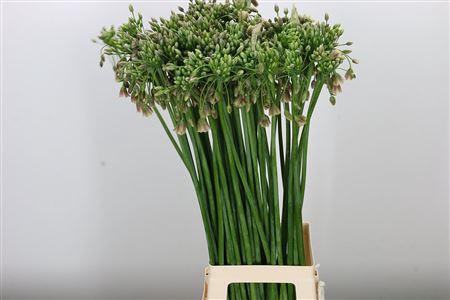 <h4>Allium Nectarscordum Siculum Bulgar</h4>