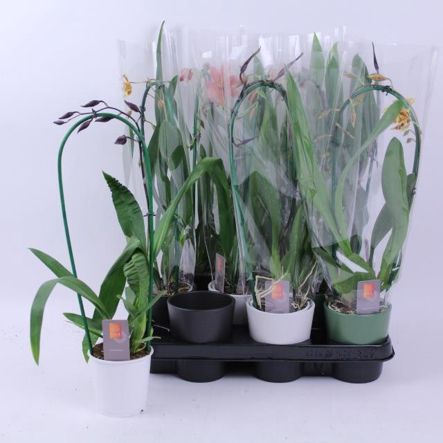 <h4>ORCHIDEEEN OVERIG</h4>