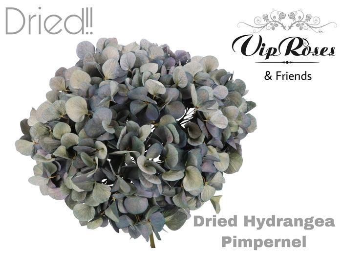 DRIED HYDRANGEA PIMPERNEL