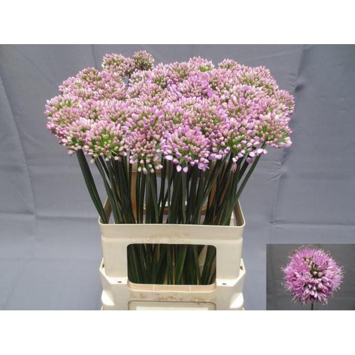 <h4>Allium Kleinbloemig</h4>