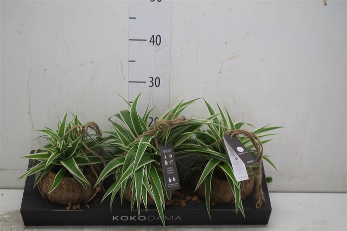 <h4>Kokodama Chlorophytum</h4>