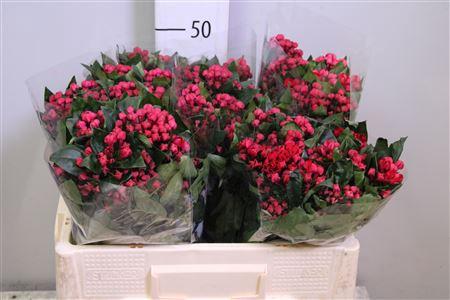 <h4>Bouvardia Red Winter 50</h4>