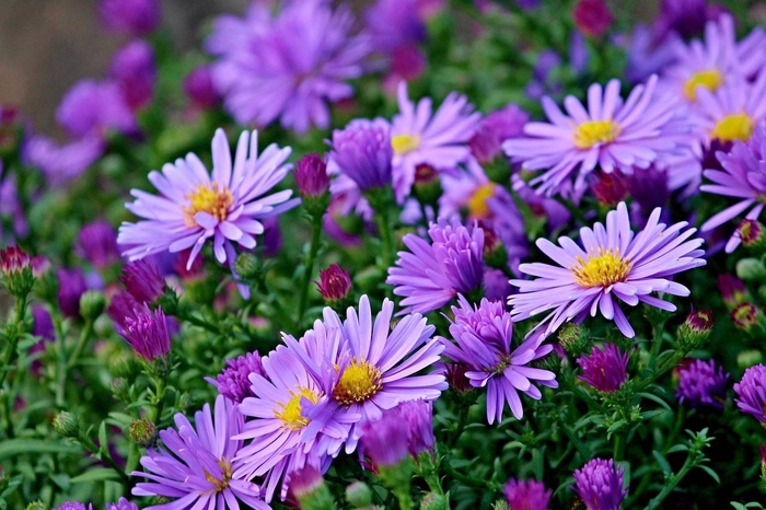 <h4>Aster x 7</h4>
