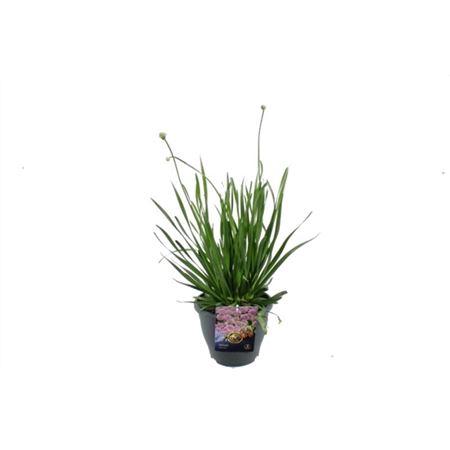 <h4>Allium Millenium</h4>