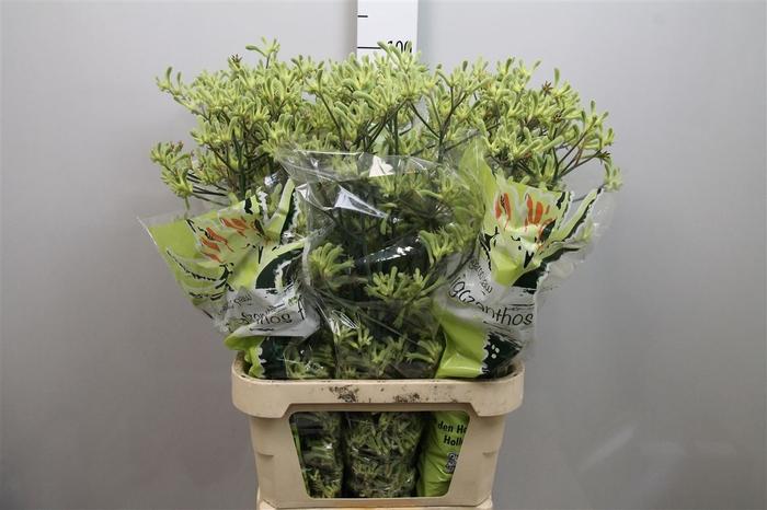 <h4>Anigoz Flavidus Green Ex</h4>