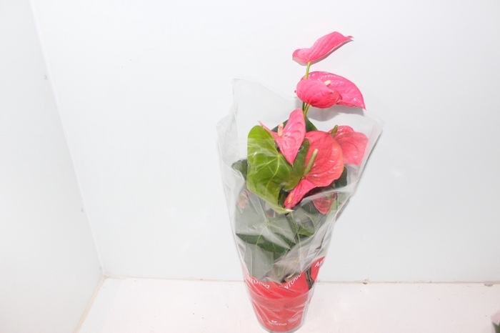 <h4>ANTHURIUM CALIFORNIA P17 ROSA</h4>