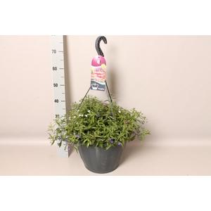 Hangpot 37 cm met waterreservoir mix Lobelia