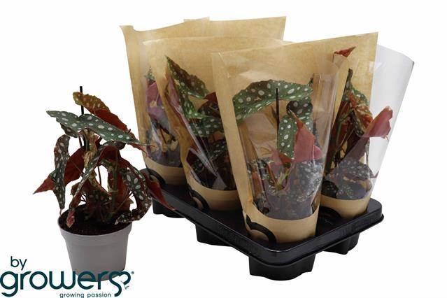 <h4>Begonia Blad Overig</h4>