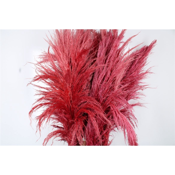 <h4>Cortaderia Coral</h4>