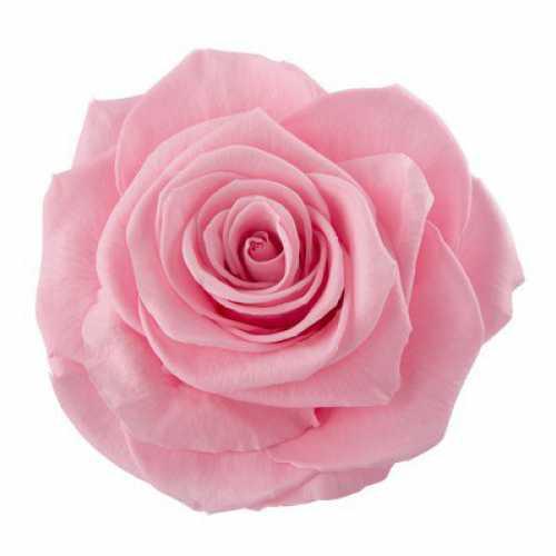 <h4>Rose Magna Madeleine Pink</h4>