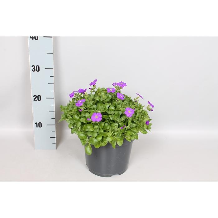 <h4>vaste planten 19 cm  Aubrieta gracilis Kitte blue</h4>