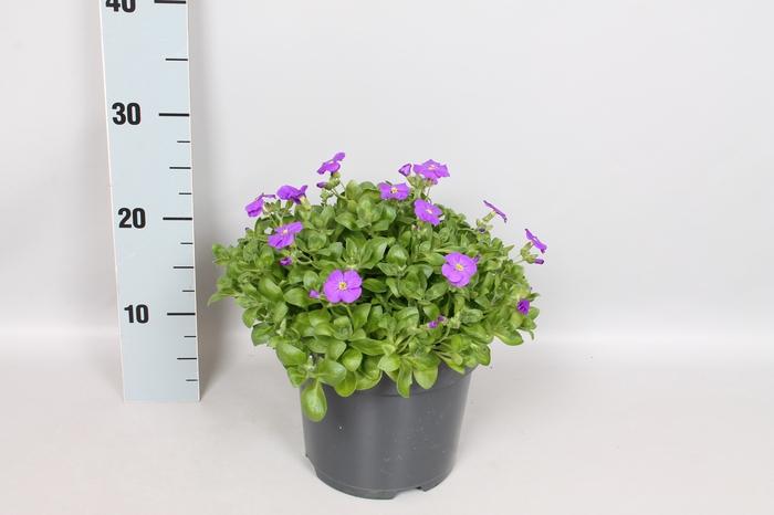vaste planten 19 cm  Aubrieta gracilis Kitte blue