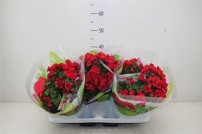Begonia Hl Betulia Rood