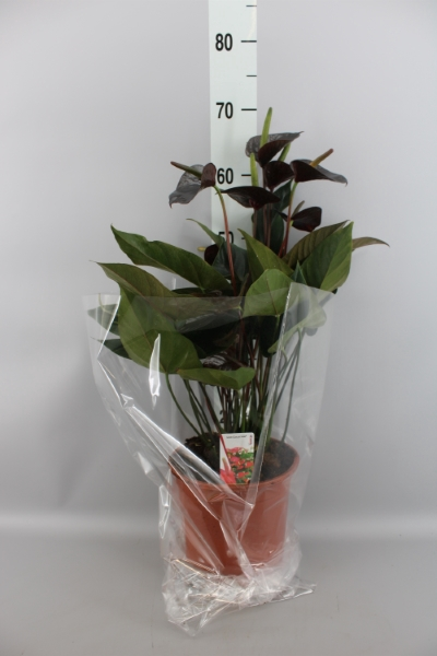 <h4>Anthurium  'Black Love'</h4>