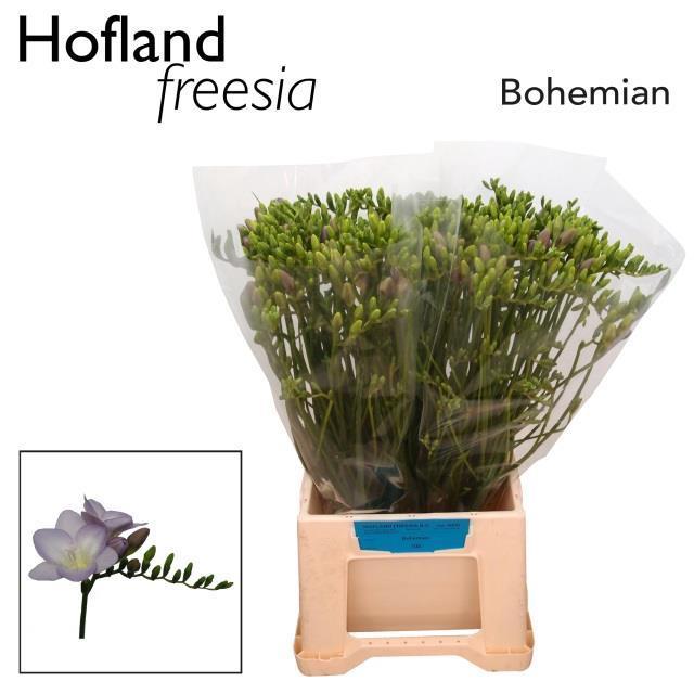 <h4>FR EN BOHEMIAN</h4>