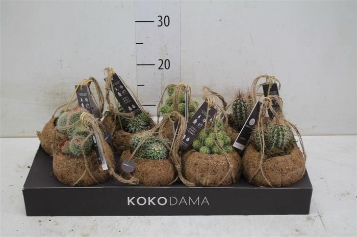 <h4>Kokodama Cactus Mix</h4>