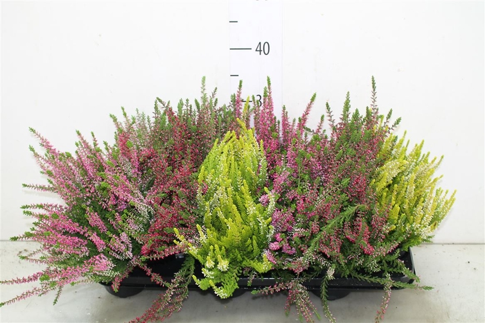 <h4>Calluna Beauty Lady Gemengd</h4>