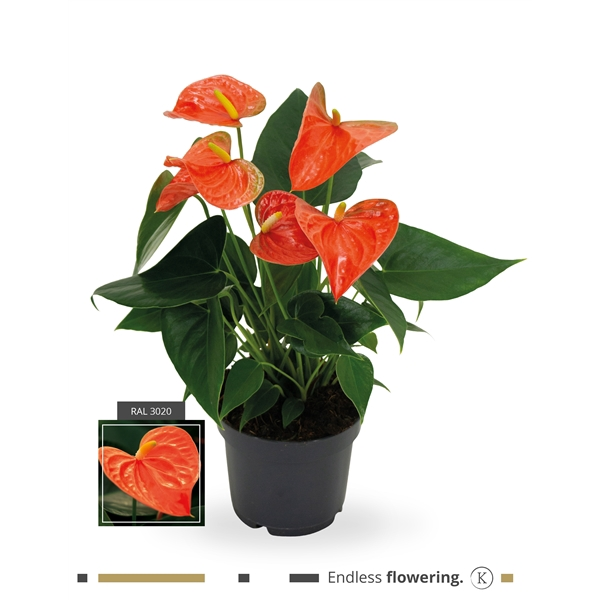 <h4>Anthurium Karma Orange</h4>