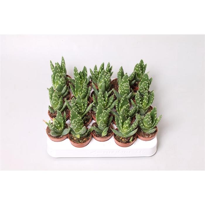 <h4>Aloe Variegata Magic</h4>