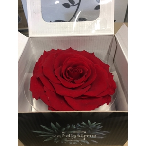 Rose Stabi King Red