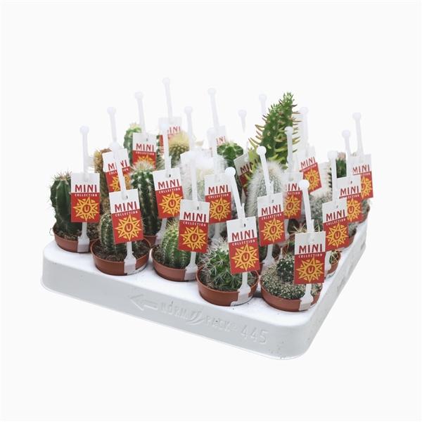 <h4>Cactus mix 5,5 cm. met picker en etiket</h4>