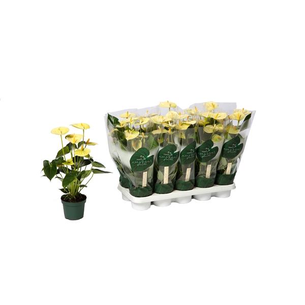<h4>Anthurium Andr Vanilla</h4>