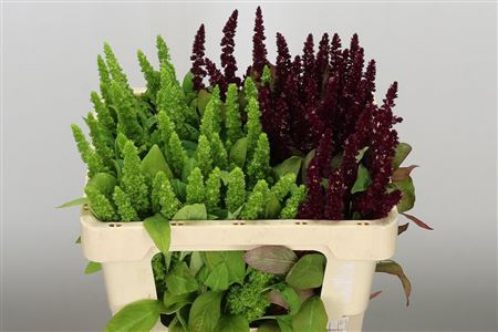 <h4>Amaranthus Mixed 2 Colors</h4>