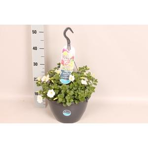 Hangpotten 27 waterreservoir Petunia White