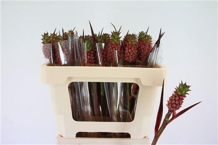 <h4>Ananas lucidus</h4>