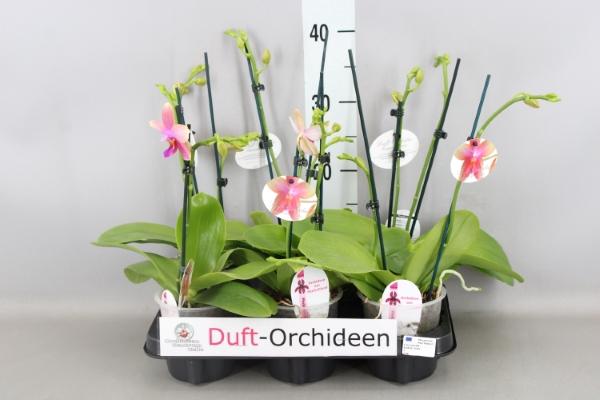<h4>Phalaenopsis  'Liodoro'</h4>