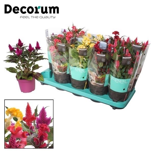 <h4>Celosia mix 5x2 met Decorum hoes</h4>
