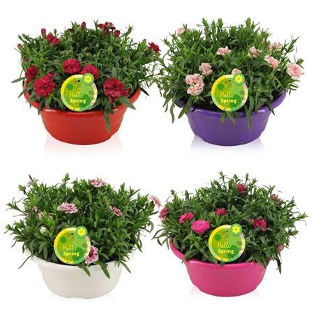 <h4>Hello Spring Dianthus Oscar In Schaal Gemengd</h4>