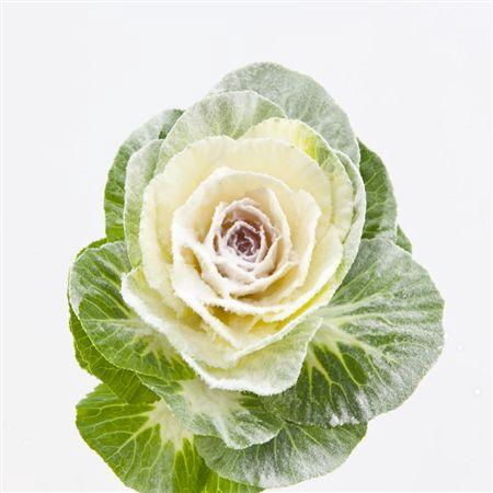 <h4>Brassica Powder White</h4>