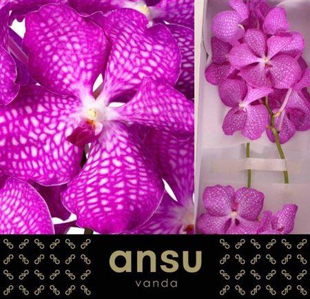 <h4>Vanda Kan Magic Pink</h4>