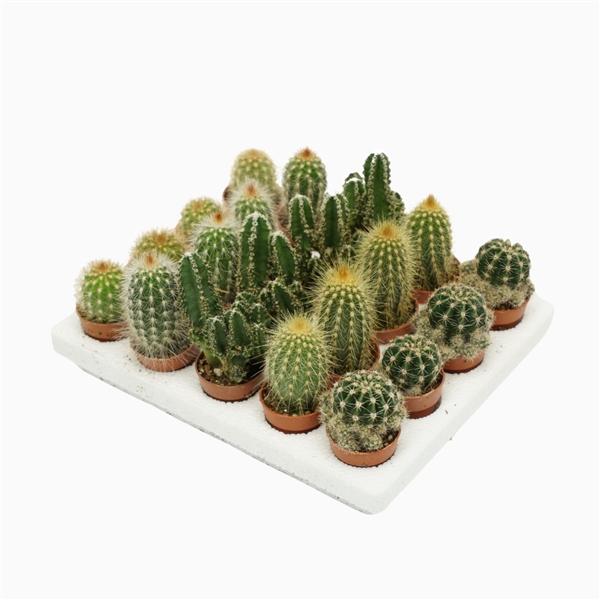 <h4>Cactus mini mix 3 cm.</h4>