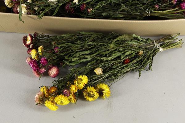<h4>Df Helichrysum 60cm Bs Mix</h4>