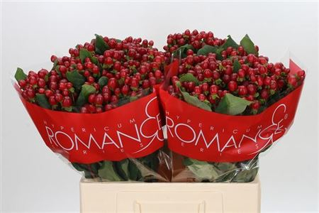 <h4>HYP RED LIGH ROMANCE</h4>