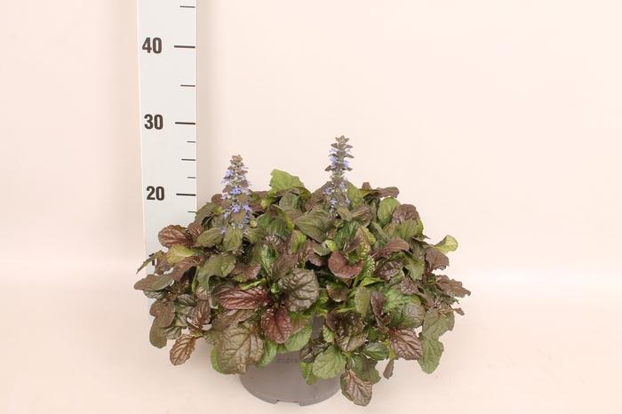 <h4>vaste planten 19 cm  Ajuga reptans Braunherz</h4>