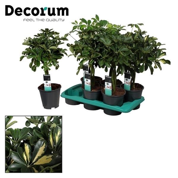 <h4>Schefflera arboricola</h4>