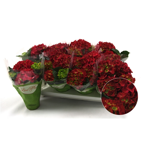 <h4>Hydrangea macr. Hot Red</h4>