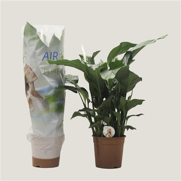 <h4>Spathiphyllum 'Sweet Silvana' ASP</h4>