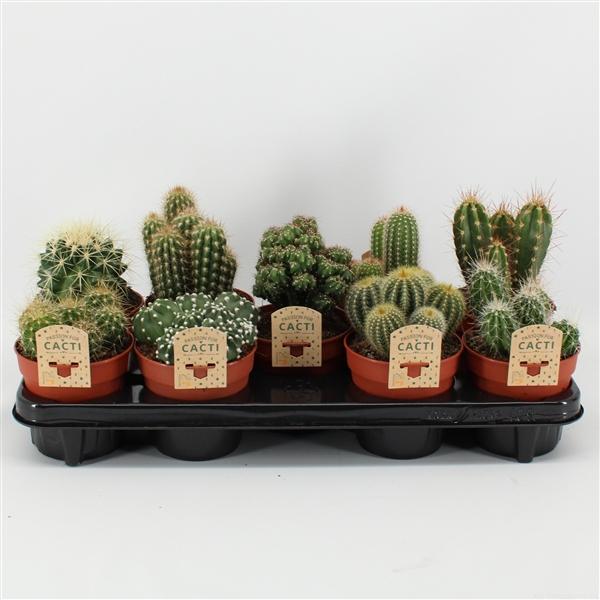 <h4>Cactus mix. 12cm 9gaats</h4>