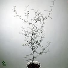 <h4>Corokia cotoneaster</h4>