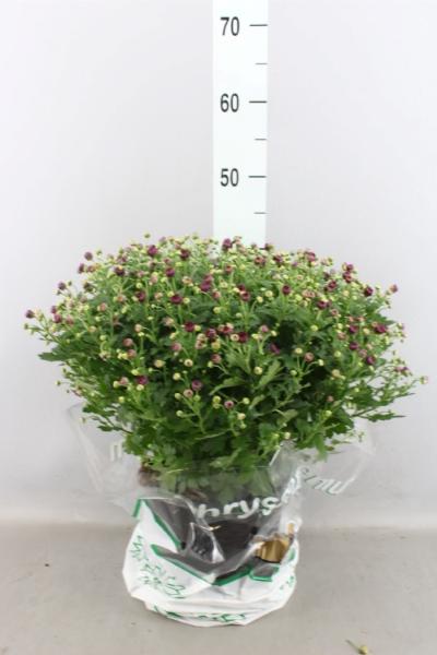 <h4>Chrysanthemum  'Jasoda Mauve'</h4>