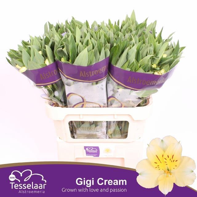 <h4>Alstro. Gigi Cream</h4>