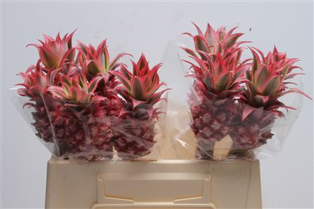 <h4>Ananas Small (middel)</h4>