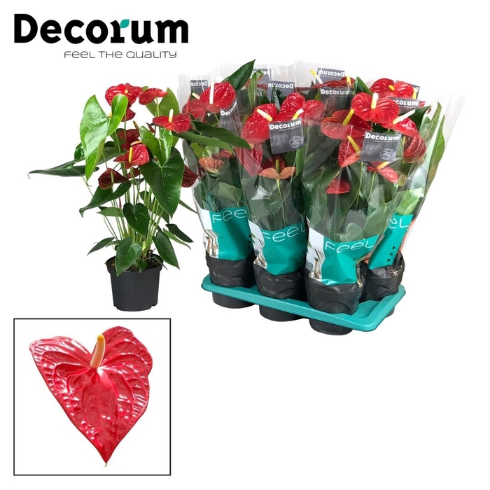 <h4>Anthurium Dakota</h4>